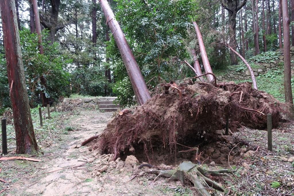 台風の影響で木が倒され。